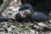 Young Chimpanzee Lying