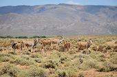 picture of eland  - Group of common elands  - JPG