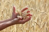 picture of modification  - ears of rye on hands - JPG