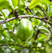 picture of thai cuisine  - Fresh garcinia  - JPG