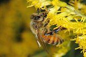 image of goldenrod  - Honeybee Obtaining Nectar From Goldenrod  - JPG