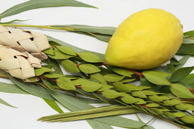 picture of sukkoth  - Etrog (citron fruit) hadass (myrtle branches) Lulav (Date palm tree branch) and Arava (Willow) Used in a ceremony of the Jewish holiday of Sukkoth. ** Note: Shallow depth of field - JPG