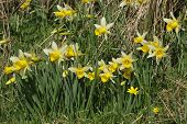 stock photo of celandine  - Wild Daffodils - Narcissus pseudonarcissus