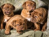 pic of dogue de bordeaux  - litter of dogue de bordeaux puppies on green background - JPG