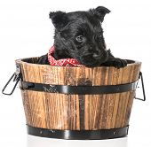 picture of scottie dog  - scottish terrier puppy in a wash basin isolated on white background  - JPG