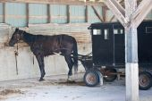 picture of mennonite  - A Mennonite carriage with horse attached parked in an old barn - JPG