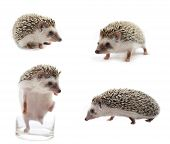 pic of mammal  - Hedgehog  mammal isolate on a  white background - JPG