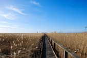 Wooden Footpath In The Reeds