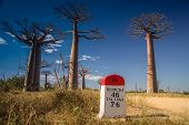 stock photo of baobab  - Famous Avenida de Baobab near Morondava in Madagascar