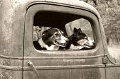 Two Dogs in old truck