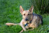 foto of german-sheperd  - Alert German Shepard Relaxing in the Green Grass With Bone - JPG