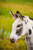 foto of burro  - A spotted Wild Burro at Custer State Park South Dakota - JPG