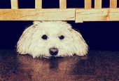 picture of bichon frise dog  - A Bichon Frise or mix breed dog gazes longingly with his head resting between a barrier gate and the floor - JPG