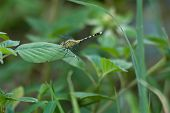 foto of dragonflies  - Dragonfly on a background of green grass.the dragonfly is associated with summer and early autumn. ** Note: Soft Focus at 100%, best at smaller sizes - JPG