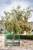 image of jabal  - Image of bottlebrush tree on Saiq Plateau in Oman - JPG