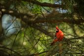 picture of cardinals  - Northern cardinal  - JPG
