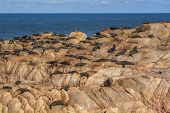 picture of sea lion  - A group of sea lions basking in sunlight on rocks in Cabo Polonio Uruguay - JPG