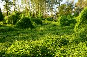 picture of creeper  - Large area trees and bushes covered by creeper plants in morning sun light - JPG