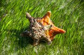 picture of conch  - A bright orange conch shell sits in shallow water with green sea grass - JPG