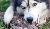 picture of wood pieces  - beautiful husky dog chewing on a piece of wood - JPG