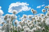 stock photo of marsh grass  - Flowering cotton grass on a background of blue sky