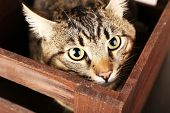 stock photo of mew  - Grey cat in wooden box closeup - JPG