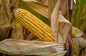 picture of corn-silk  - United States is - JPG