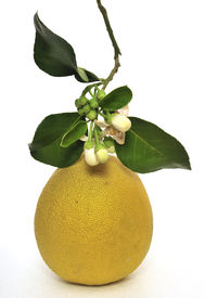 picture of pamelo  - Fruit pamelo green than yellow are in blossom on white background - JPG