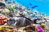 foto of shoal fish  - Coral and fish in the Red Sea - JPG