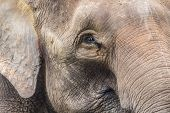 foto of indian elephant  - Close up of Indian elephant face Malaysia  Asia - JPG