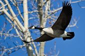 stock photo of canada goose  - Lone Canada Goose Flying in a Blue Sky - JPG