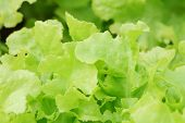 stock photo of hydroponics  - green oak hydroponics in vegetable garden - JPG