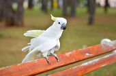 picture of cockatoos  - White Parrot - Sulphur-crested cockatoo - Cacatua galerita standing on a a bench in a park ** Note: Visible grain at 100%, best at smaller sizes - JPG