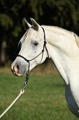 stock photo of arabian horse  - Portrait of amazing white stallion of arabian horse - JPG