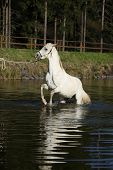 image of arabian horse  - Amazing arabian horse prancing in the water