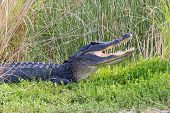pic of bayou  - Large American alligator with its mouth open while basking in the sun on the shore of a Florida waterway