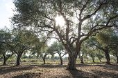 picture of olive trees  - Olive trees and sun rays - JPG