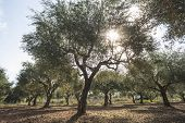 stock photo of olive trees  - Olive trees and sun rays - JPG