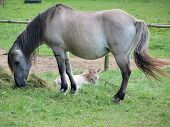 pic of foal  - mare with foal  - JPG