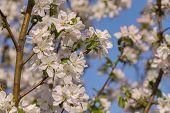 image of apple tree  - flowering tree Apple tree flower pink leaf spring - JPG