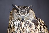 stock photo of eye-wink  - Close up picture of winking eagle owl - JPG
