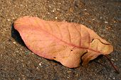 pic of dead plant  - pink dead leaf on soil or ground - JPG