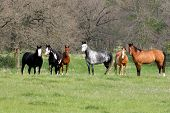 image of horse plowing  - family of horses - JPG