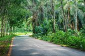 picture of row trees  - Road Between Row of expired para rubber tree and palm tree - JPG