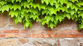 image of ivy vine  - Old brick wall with green ivy climber background - JPG