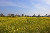 foto of punjabi  - fields of flowering mustard crops in a punjabi landscape under a blue sky - JPG