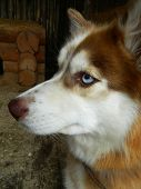 image of sled dog  - Sled dog husky in his enclosure in the nursery - JPG