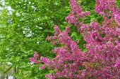 picture of canada maple leaf  - Crabapple blossoms in the spring with green maple leaf trees in the background - JPG