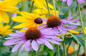 pic of black-eyed susans  - Close - JPG