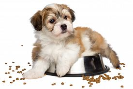 foto of sate  - Cute sated Bichon Havanese puppy dog is lying on a metal food bowl some dry dog food scattered around  - JPG
